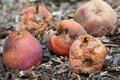Rotten apples group of on the ground Royalty Free Stock Photos