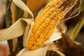 Rotten corn cob bad grew up on a non gmo field presented in a wooden basket nobody macro perspective agriculture non modified food Royalty Free Stock Image