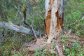 Rotten dead wood tree in forest Royalty Free Stock Photo