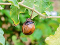 Rotten eggplant on the tree in the garden Stock Images