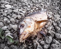 Rotten fish with maggots on the river bank Royalty Free Stock Photo