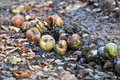 Rotten fruits apples on the ground Stock Images