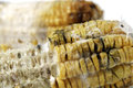 Rotten grilled corn with fungus close up of Stock Photo