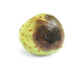 Rotten guava fruit isolated on white background Royalty Free Stock Photo