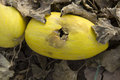 Rotten melon and decayed yellow in farm Stock Images