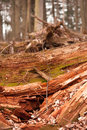 Rotten one of many trees in primeval forest roztoczanski national park poland Stock Photos