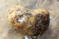 Rotten potato Royalty Free Stock Photo