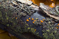 Rotten Twig with Orange Fungus Royalty Free Stock Images