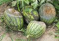 Rotten watermelons four in the farmland Stock Photo