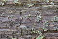 Rotten wood and lichen Royalty Free Stock Photo