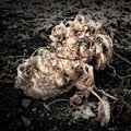 Rotting kohlrabi on the garden soil artistically alienated to create a grungy somber atmosphere Stock Photos