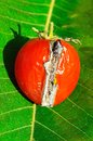 Rotting tomato ripe red which has split and is uk Stock Photography