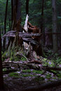 Rotting tree remains of trunk in cook forest state park Stock Images