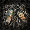 Rotting zucchinis on a compost heap artistically alienated to create a grungy somber atmosphere Royalty Free Stock Image