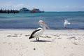 Rottnest Pelican and Sea gull Royalty Free Stock Photo