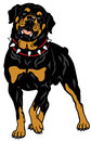 Rottweiler dog breed front view illustration isolated on white background Royalty Free Stock Images