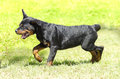 Rottweiler dog a cute healthy young beautiful black and rust puppy running on the grass rotweillers are well known for being Royalty Free Stock Photography