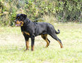 Rottweiler dog a healthy robust and proudly looking standing on the grass rotweillers are well known for being intelligent dogs Stock Image