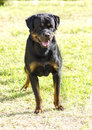 Rottweiler dog a healthy robust and proudly looking with undocked tail standing on the grass rotweillers are well known for being Stock Image