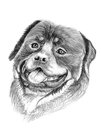 Rottweiler dog illustration sketch painting Royalty Free Stock Photos