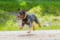 Rottweiler Dog Jumping High