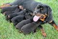 Rottweiler Dog Nursing Royalty Free Stock Photo