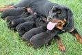 Rottweiler Dog Nursing