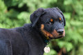 Rottweiler dog pup looking on Royalty Free Stock Images