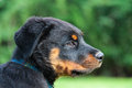 Rottweiler dog pup looking on Stock Photography