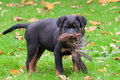 Rottweiler dog pup playing with dead bird a Stock Photography