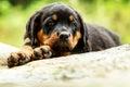 Rottweiler Dog Pup