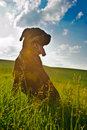 Rottweiler dog during a summer afternoon in the country Stock Photos