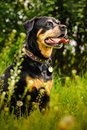 Rottweiler dog during a summer afternoon in the country Stock Photo