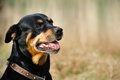 Rottweiler dog during a summer afternoon in the country Stock Image
