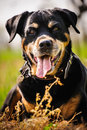 Rottweiler dog during a summer afternoon in the country Royalty Free Stock Image