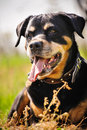 Rottweiler dog during a summer afternoon in the country Royalty Free Stock Photos