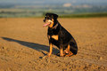 Rottweiler dog during a summer afternoon in the country playing Royalty Free Stock Photos