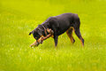 Rottweiler dog during a summer afternoon in the country playing Stock Photos