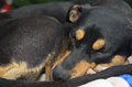 Rottweiler German Shepherd mix sleeping curled up on bed Royalty Free Stock Photo