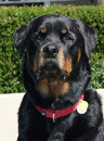 Rottweiler happy face a head shot posing by the hedge head on Royalty Free Stock Image