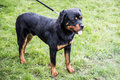 Rottweiler on a leash dog standing portrait at dog exposition Stock Photos