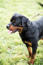 Rottweiler on a leash dog standing portrait at dog exposition Stock Images