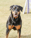 Rottweiler looking at the camera Royalty Free Stock Photography