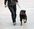 Rottweiler and master walk Stock Photography