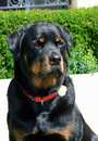 Rottweiler patient portrait a head shot posing by the hedge sitting patiently Royalty Free Stock Photo