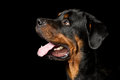 Rottweiler portrait high contrast studio of an adult male purebred dog Stock Photo