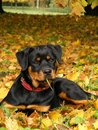 Rottweiler pup lying on the ground in forest Stock Photos