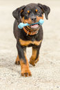 Rottweiler puppy with rubber bone toy pup holding his play Stock Photos