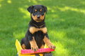 Rottweiler puppy sitting in a toy dump truck handsome sits on the middle of beautiful green lawn Royalty Free Stock Photos