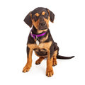 Rottweiler puppy sitting wearing a purple collar and blank tag against a white background Stock Image